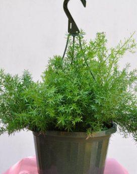 Hanging Basket Asparagus Fern