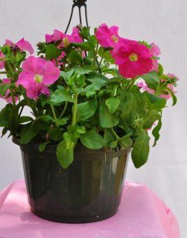 Hanging Basket Flowering