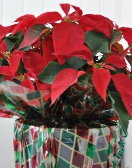 Poinsettia 10 inch gift wrapped
