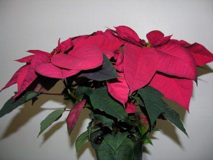 Poinsettia 6 inch