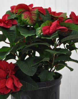 Poinsettia 'Winter Rose' 10 inch
