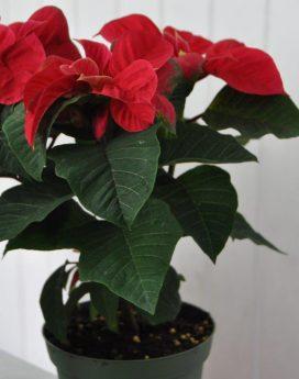 poinsettia-8-inch-winter-rose-18-40