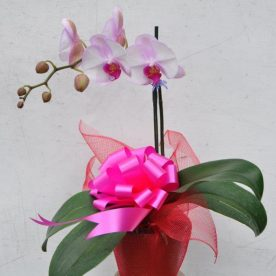 Phalaenopsis Orchid Gift Wrapped $59.50